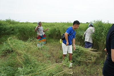 インディゴ畑